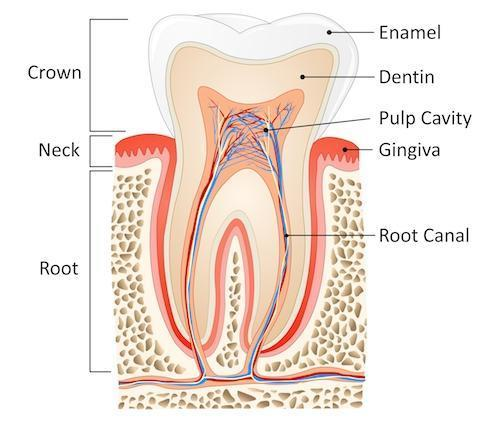 Model of tooth l Dentist Evansville IN